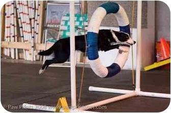Border Collie Dog for adoption in Tiffin, Ohio - Rachel - AGILITY!