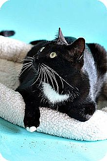 Domestic Shorthair Cat for adoption in Saint Clair Shores, Michigan - Luke