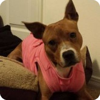 American Pit Bull Terrier Mix Dog for adoption in Kansas City, Missouri - BeeGee