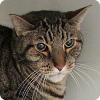 Adopt A Pet :: Captain Crunch - Gilbert, AZ