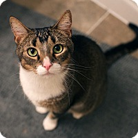 Adopt A Pet :: Adonis - New York, NY