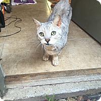 Adopt A Pet :: Lemon - Houston, TX