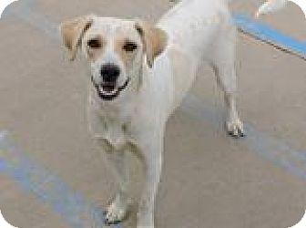 Beagle/Labrador Retriever Mix Dog for adoption in Cottonport, Louisiana - Bishop