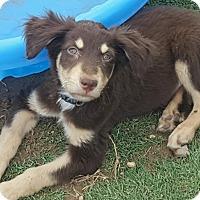Adopt A Pet :: Tex - Las Cruces, NM