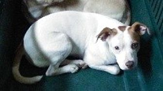 Jack Russell Terrier/Pug Mix Dog for adoption in Glenwood, Georgia - L.C.