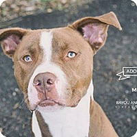 Pit Bull Terrier/Labrador Retriever Mix Dog for adoption in Dickinson, Texas - Max
