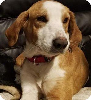 Basset Hound/Australian Shepherd Mix Dog for adoption in Bradenton, Florida - Jason