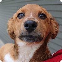 Adopt A Pet :: Mopsey - Green Bay, WI