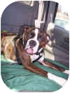 Boxer Puppy for adoption in Sunderland, Massachusetts - CAPTAIN