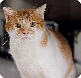 Domestic Shorthair Cat for adoption in Eldora, Iowa - Chase