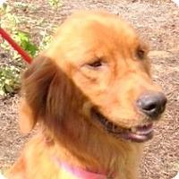 Adopt A Pet :: Rose - New Canaan, CT