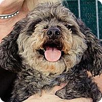 Adopt A Pet :: Yankee - Acton, CA