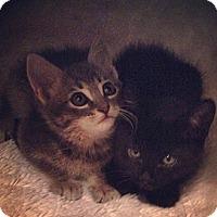 Adopt A Pet :: Boots and Ninja - Chandler, AZ