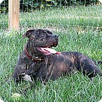 Adopt A Pet :: Simon - Madison, WI