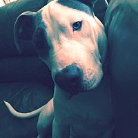 American Pit Bull Terrier Dog for adoption in Fredericksburg, Virginia - Blu- Courtesy Listing