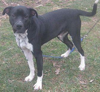 Labrador Retriever/Staffordshire Bull Terrier Mix Dog for adoption in Hillsboro, Ohio - Tyson