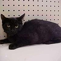 Domestic Shorthair Cat for adoption in New Bern, North Carolina - Sambo