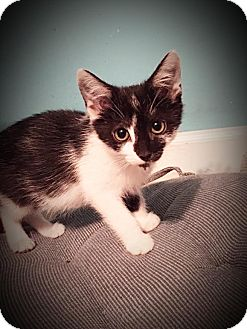 Domestic Shorthair Kitten for adoption in Charlotte, North Carolina - A..  Eloise