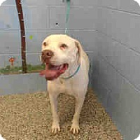 Pit Bull Terrier Mix Dog for adoption in San Bernardino, California - URGENT ON 3/18  San Bernardino
