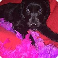 Adopt A Pet :: Dandie - Foristell, MO