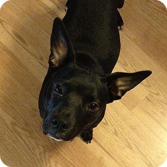 Labrador Retriever/Jack Russell Terrier Mix Puppy for adoption in Orlando, Florida - Nala