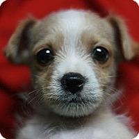 Adopt A Pet :: Dickens - Canoga Park, CA