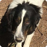 Adopt A Pet :: Sugar - Brattleboro, VT
