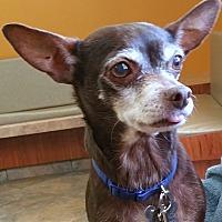 Toy Fox Terrier/Chihuahua Mix Dog for adoption in Phoenix, Arizona - Rusty