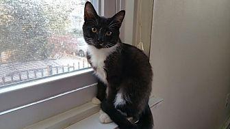 Domestic Shorthair Cat for adoption in Philadelphia, Pennsylvania - Tucker
