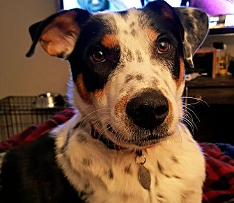 Border Collie/Australian Cattle Dog Mix Dog for adoption in Frisco, Texas - Noble