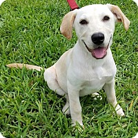 Adopt A Pet :: Koda - Royal Palm Beach, FL