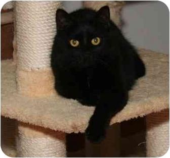 Domestic Shorthair Cat for adoption in Cincinnati, Ohio - Tovah