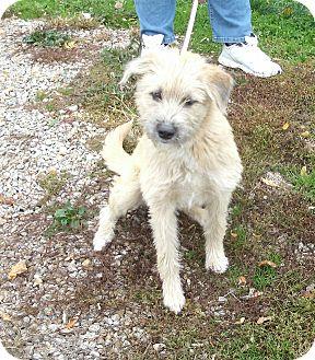 Wheaten Terrier Mix Dog for adoption in Toronto/Etobicoke/GTA, Ontario - Scruffy