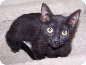 Domestic Shorthair Kitten for adoption in Colorado Springs, Colorado - K-Guffey3-Krystal