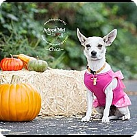 Adopt A Pet :: Chica - Shawnee Mission, KS