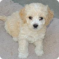 Adopt A Pet :: Litter of Cockapoo Puppies - La Habra Heights, CA
