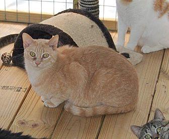 Domestic Shorthair Cat for adoption in Brainardsville, New York - Coolie