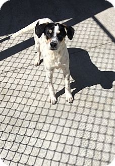Cattle Dog/Terrier (Unknown Type, Medium) Mix Dog for adoption in Battle Creek, Michigan - Buster