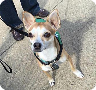 Chihuahua/Rat Terrier Mix Dog for adoption in Sharon Center, Ohio - Elliott