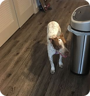Pointer Mix Puppy for adoption in Las Vegas, Nevada - Penny aka Starlight