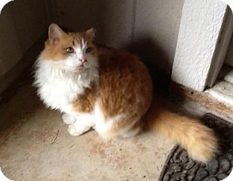 Domestic Longhair Cat for adoption in San Antonio, Texas - Mammadeax