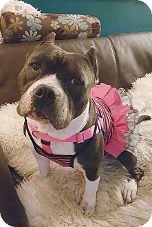 Scottie, Scottish Terrier Mix Dog for adoption in Villa Park, Illinois - Denise Richards