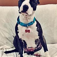 American Staffordshire Terrier Mix Dog for adoption in Whitestone, New York - Jodi