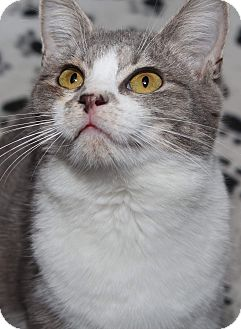 """Domestic Shorthair Kitten for adoption in Media, Pennsylvania - """"M"""" Litter Marina"""
