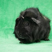 Guinea Pig for adoption in Baton Rouge, Louisiana - Unicorn & Mr T