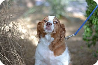 Brittany Mix Dog for adoption in Gilbert, Arizona - Snoopy