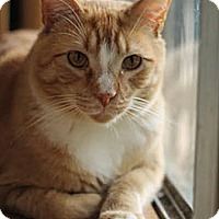 Domestic Shorthair Cat for adoption in Stone Mountain, Georgia - Schroeder