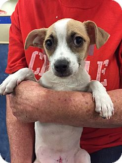 Chihuahua/Terrier (Unknown Type, Medium) Mix Dog for adoption in Fresno, California - Meg