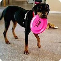 Adopt A Pet :: PHIL - Boca Raton, FL