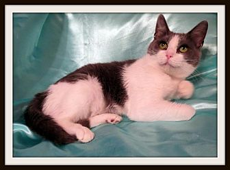 Domestic Shorthair Cat for adoption in St. Louis, Missouri - Marianna